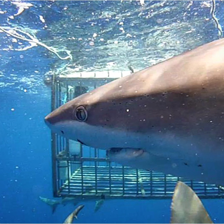 Swimming with Sharks on Oahu Cage