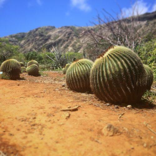Koko Crater Gardens Cactus