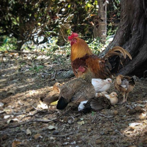 Koko Crater Garden Chickens