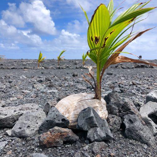 Pohoiki Coconut Tree