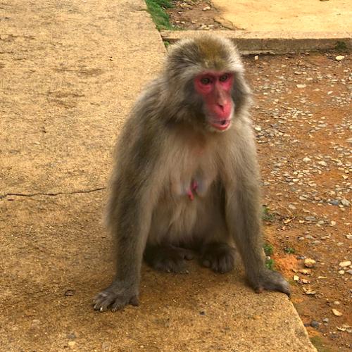 Iwatayama Adult Monkey