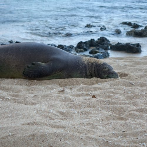 Kahuku Shoreline monk seal on beach