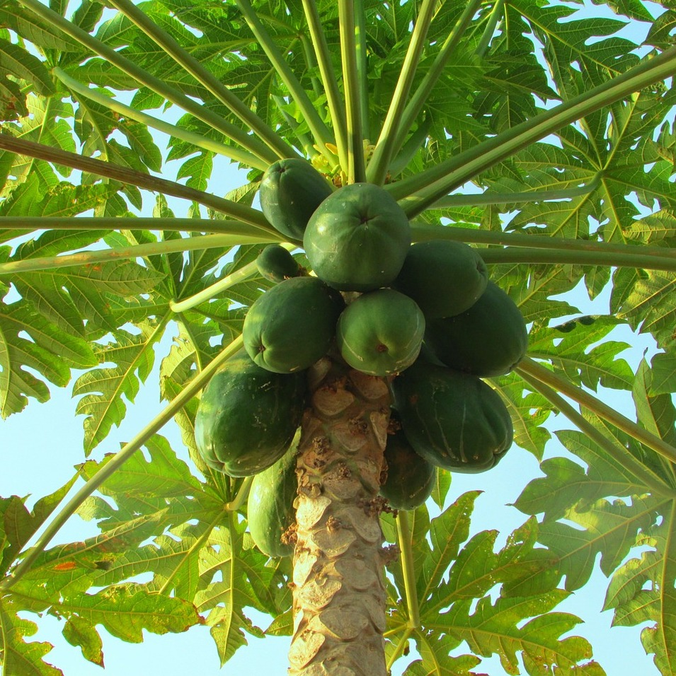 papaya tree with green papayas