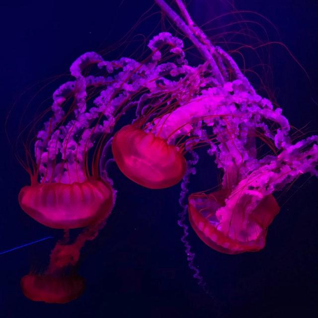 purple jellyfish at aquarium