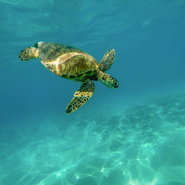 turtle in ocean in Kona warm winter vacations in the USA