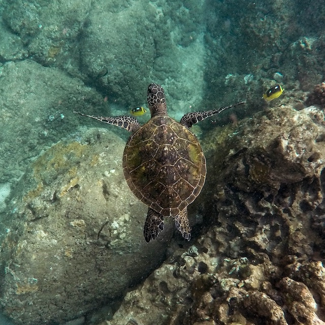 view of turtle in Hawaii from above