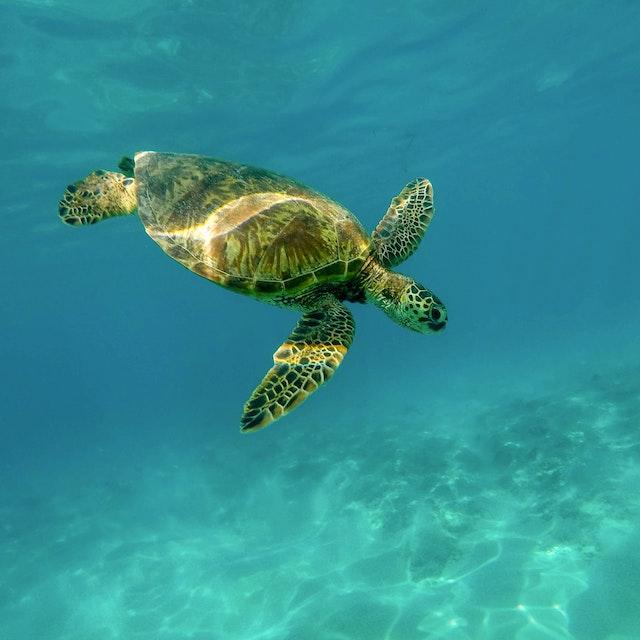 beautiful turtle diving underwater