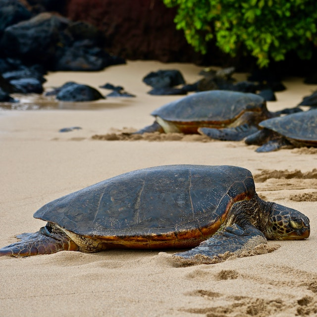turtles lounging on the sand Where to see turtles on Oahu, Hawaii