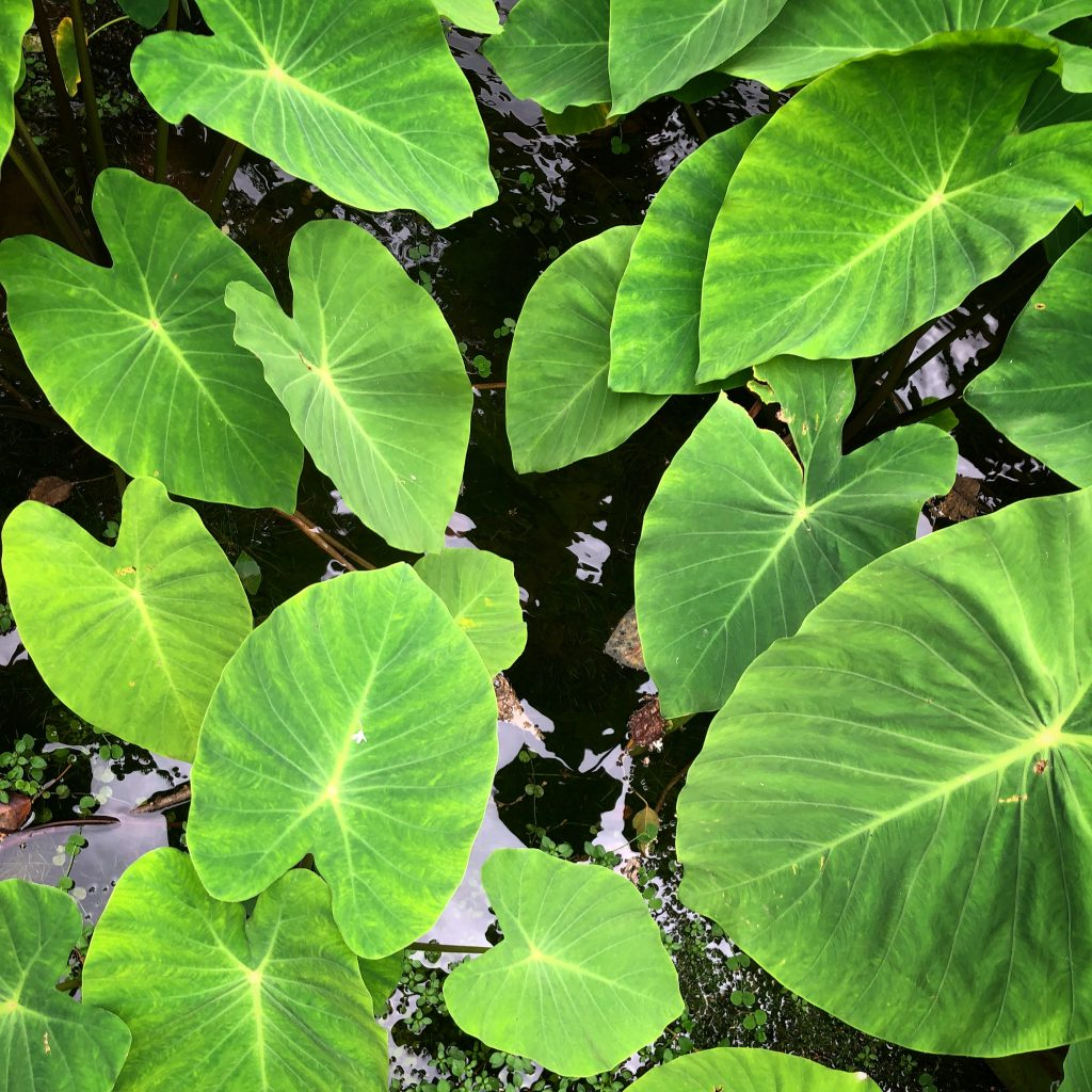 thriving taro plants from above