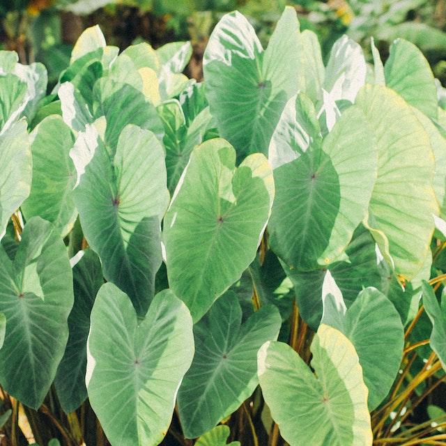 field of bright green taro plants
